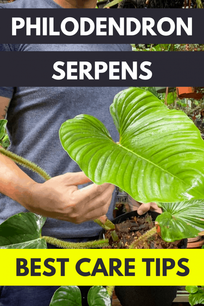 Philodendron Serpens Care ―  The Definitive Guide 1