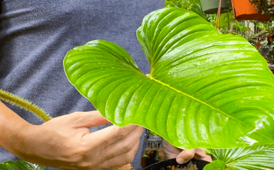 Philodendron Serpens Care
