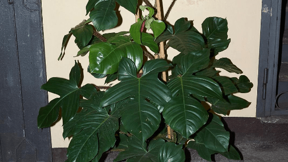 Philodendron Squamiferum Care – How to Rock it!