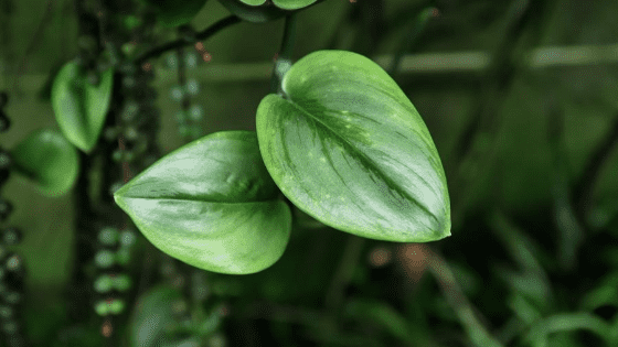Scindapsus Treubii Tips For Rare Plant Lovers
