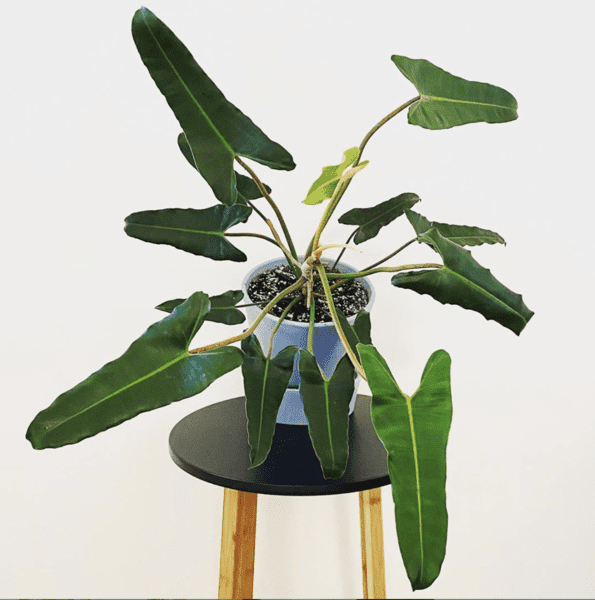 Philodendron Atabapoense