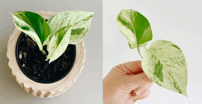 Snow Queen Pothos Care Instructions