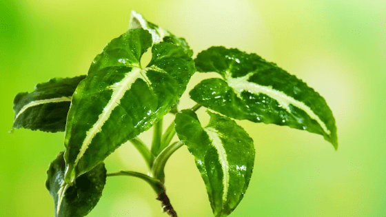 Syngonium Wendlandii Care – This Will Make Your Life Easier