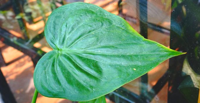 Alocasia Cucullata Plant Care