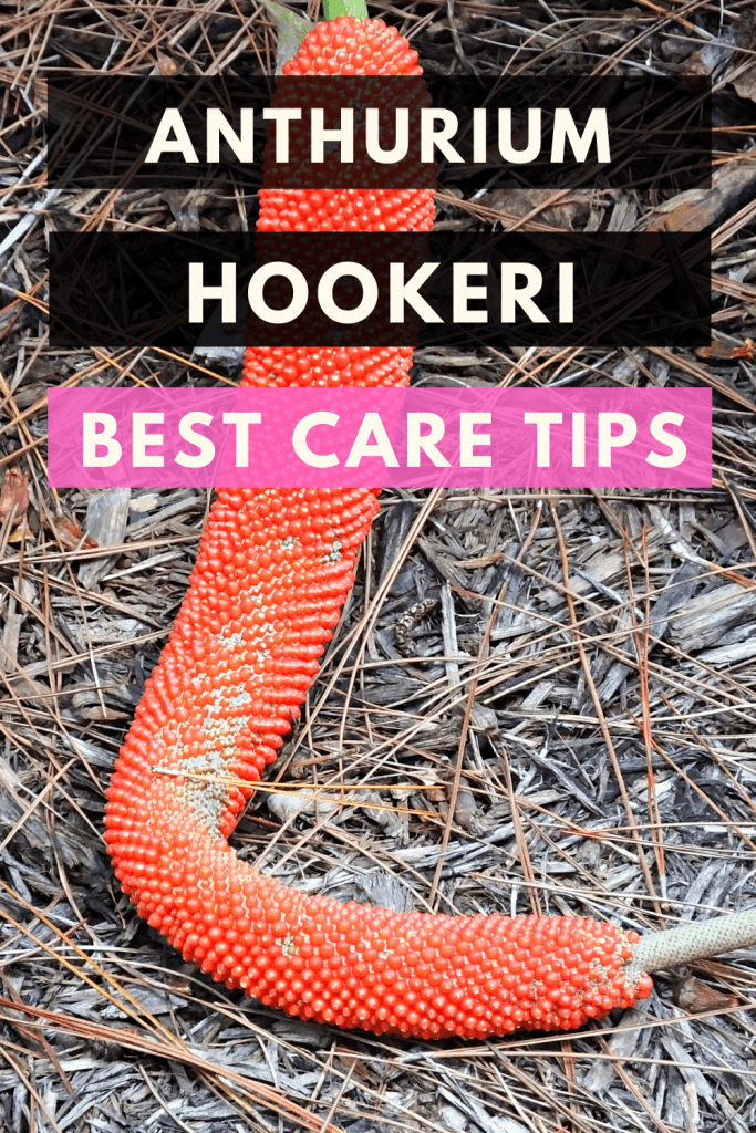 Anhurium Hookeri Best Care Tips