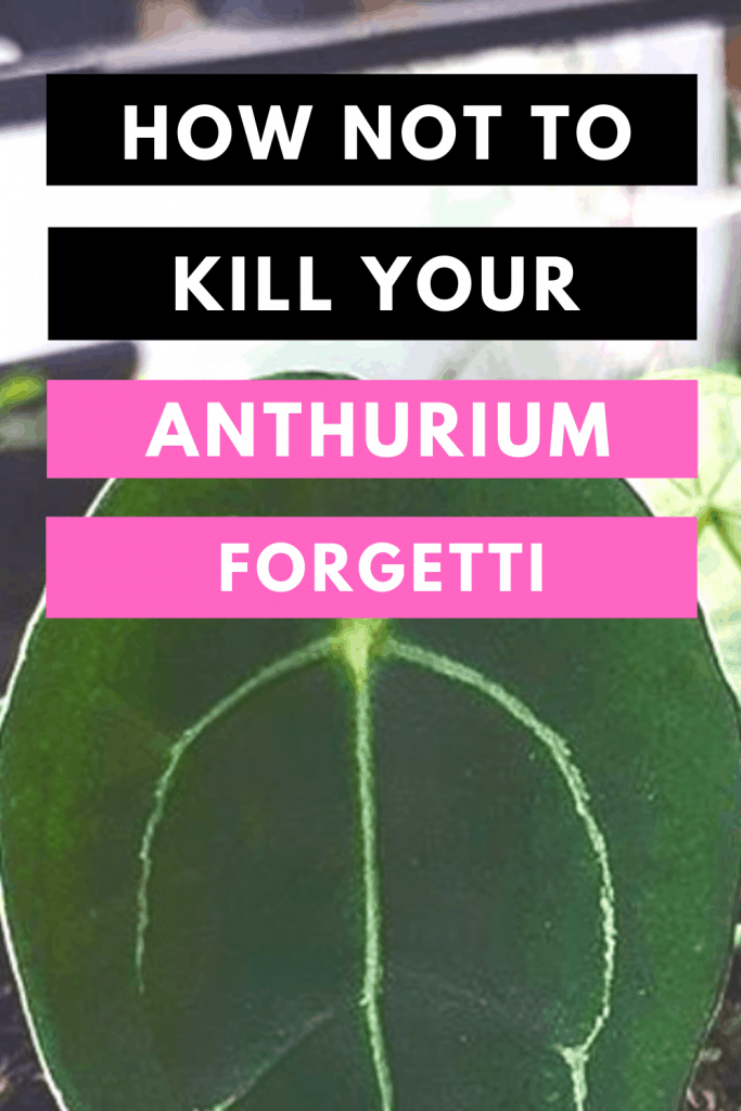 Anthurium Forgetti Plant Care Tips