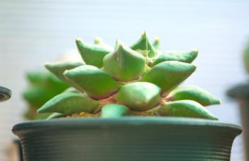 Ariocarpus Fissuratus Plant Care