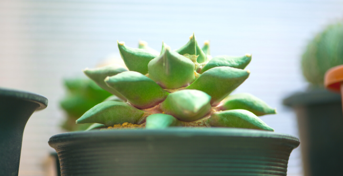 Ariocarpus Fissuratus Care Tips You Wish You Knew Earlier