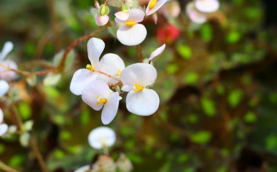 Begonia Dreige Plant Care