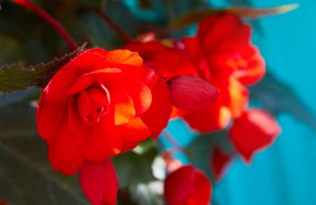 Begonia Tuberhybrida Plant Care