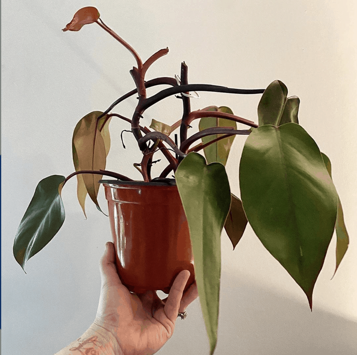 Bloody Mary Philodendron