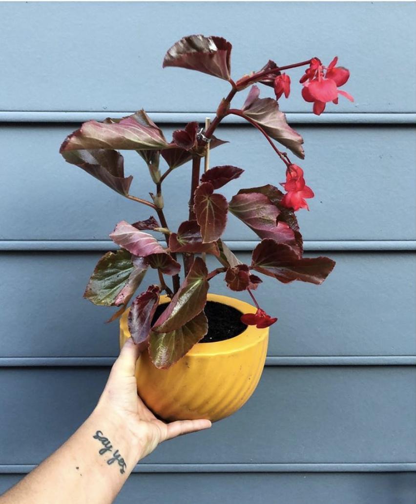 Bronze Leaf Begonia