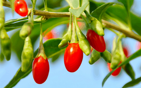 Goji Berry Plant Care
