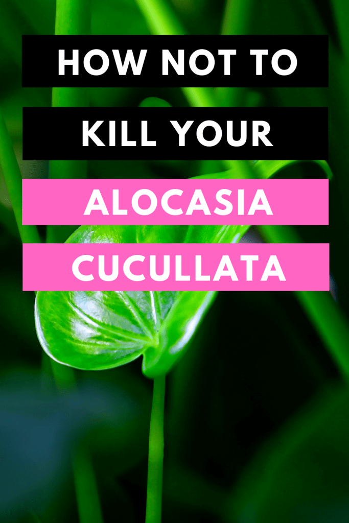 How Not To Kill Your Alocasia Cucullata