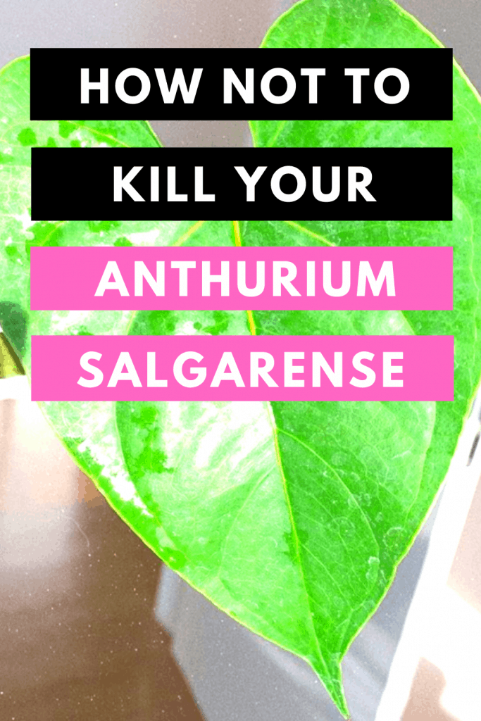 How Not To Kill Your Anthurium Salgarense