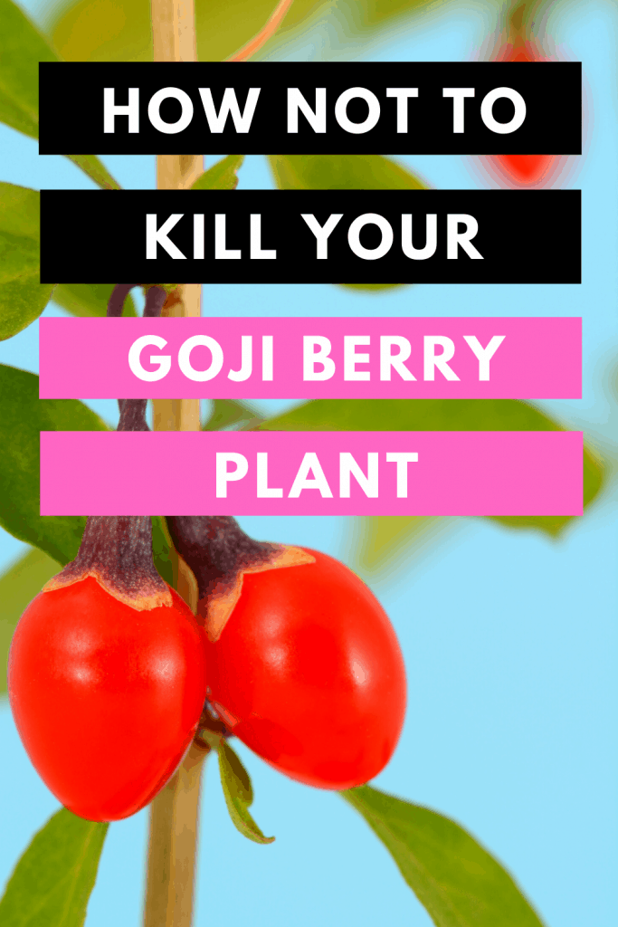 How Not To Kill Your Goji Berry Plant