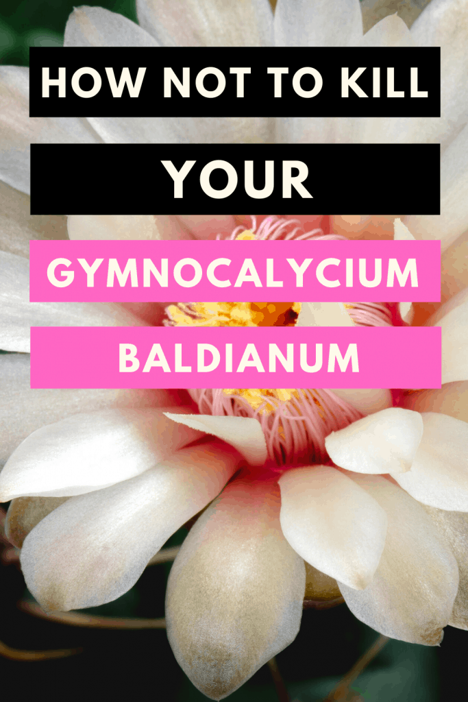 How Not To Kill Your Gymnocalycium Baldianum Pin