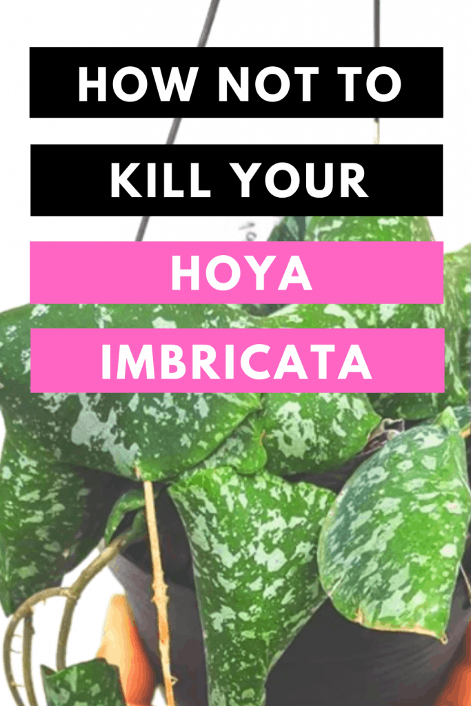 How Not To Kill Your Hoya Imbricata Update