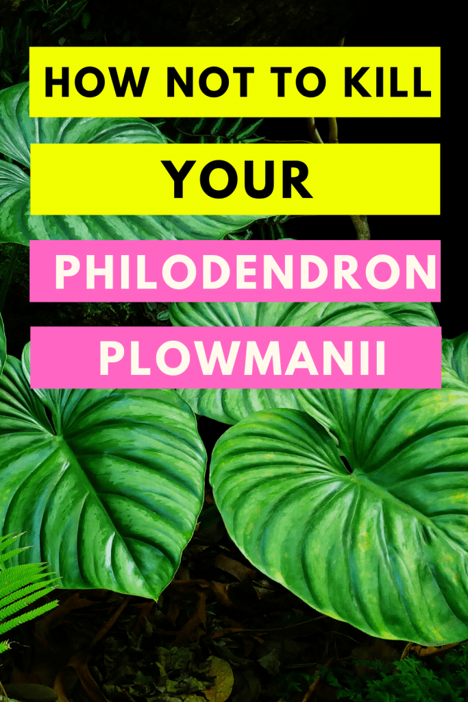 Philodendron Plowmanii #1 Best Care Hacks! 1