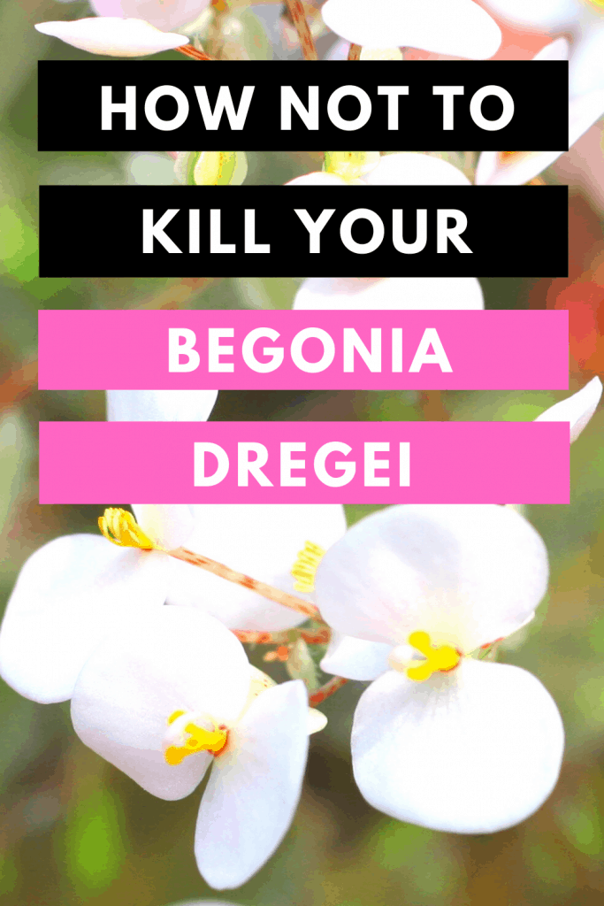 How Not To Kill your Begonia Dregei
