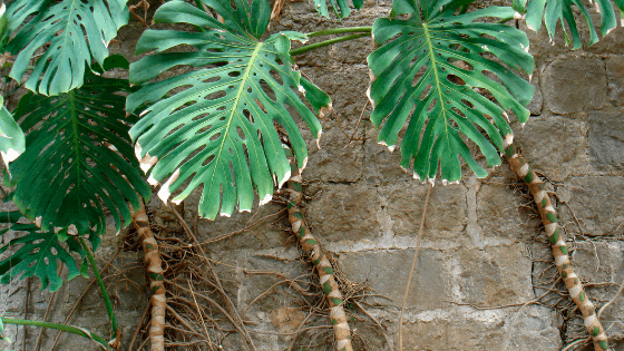 How fast does Monstera Deliciosa grow
