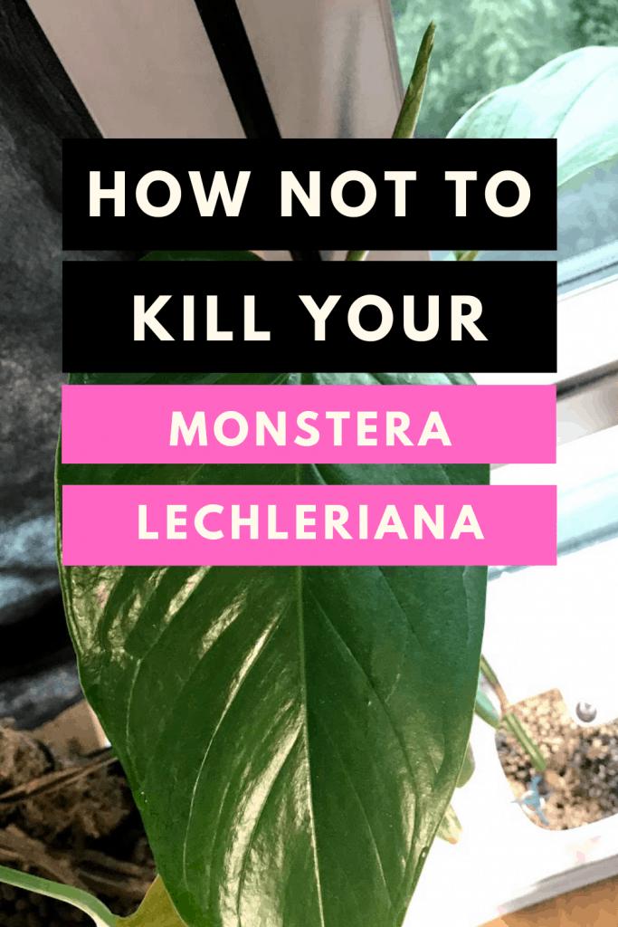 Monstera Lechleriana Care