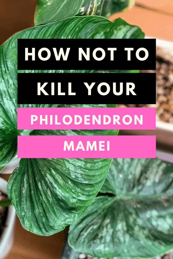 Philodendron mamei care
