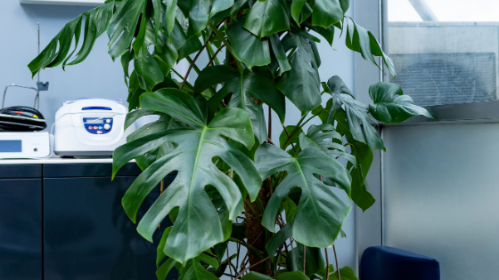 How to Care For Your Monstera Deliciosa In Winter