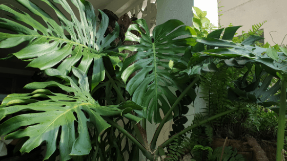 How to fertilize Monstera Deliciosa