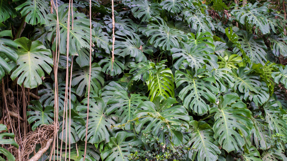Monstera Deliciosa growth rate