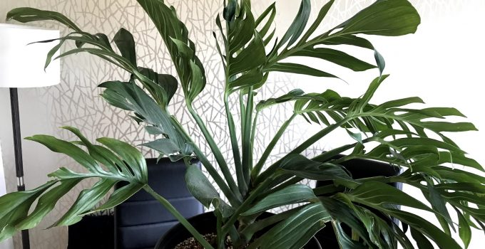 Monstera Pinnatipartita