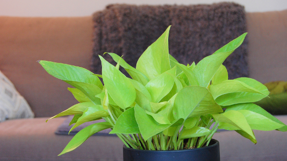 Neon Pothos Care Made Easy