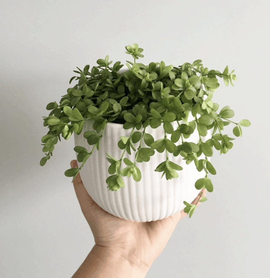 Peperomia Hoffmannii Care – Our Best Tips