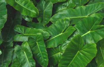 Philodendron Imbe Plant Care