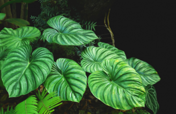 Philodendron Plowmanii Plant Care