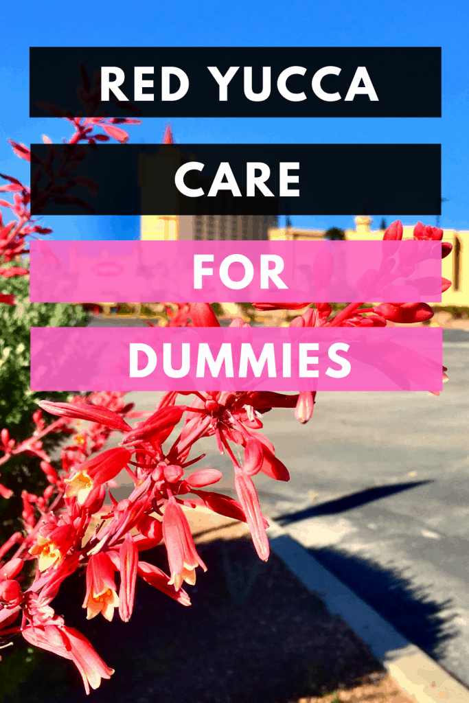 Red Yucca Care For Dummies