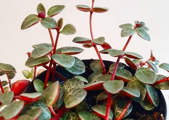 Peperomia Rubella