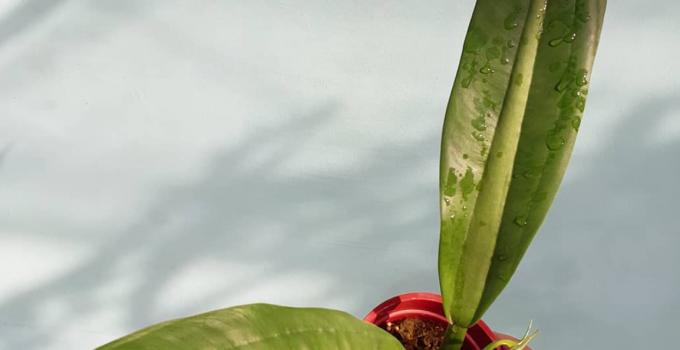 Philodendron Crassinervium Plant Care