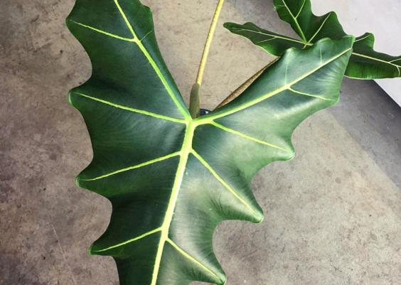 Alocasia Sarian Plant Care