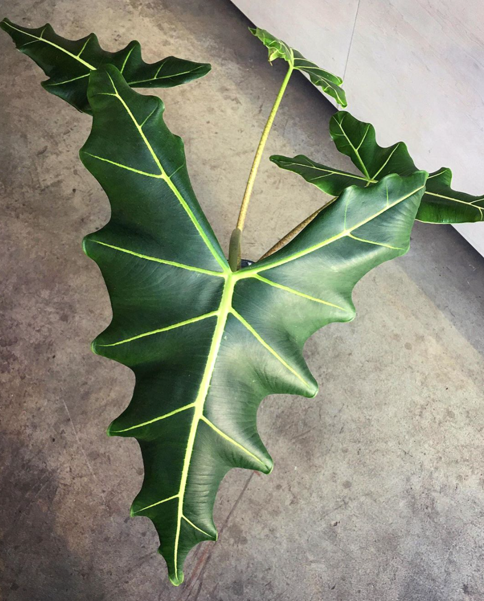 Alocasia Sarian Care – Things You are Missing