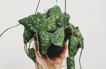 Hoya Imbricata Plant Care