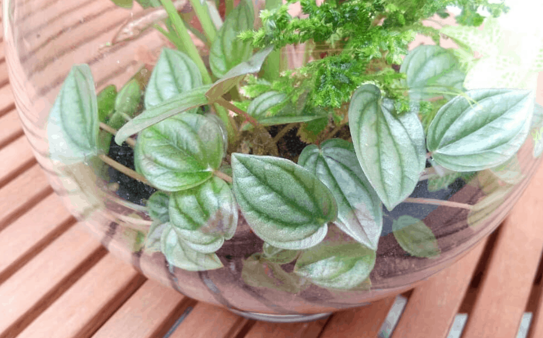 Ivy Peperomia Plant Care