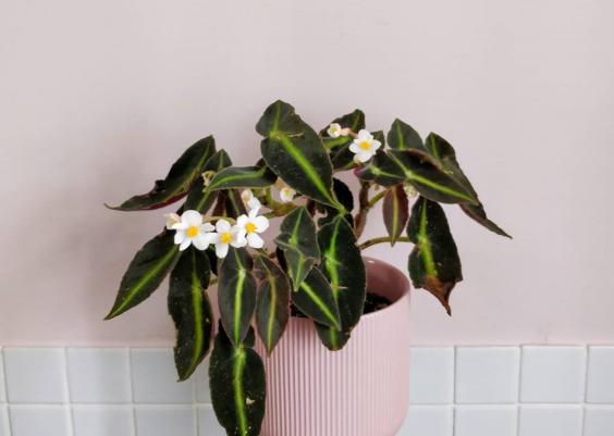 Begonia Listada Plant Care