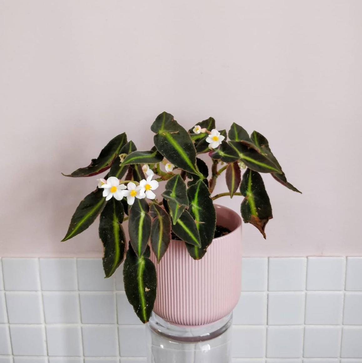 Begonia Listada Plant Care Best Practices