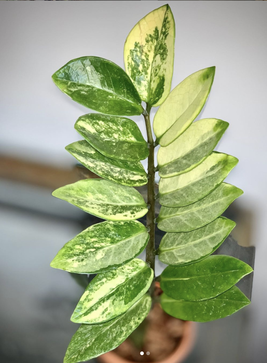 Variegated ZZ Plant Care – Tips That Actually Work