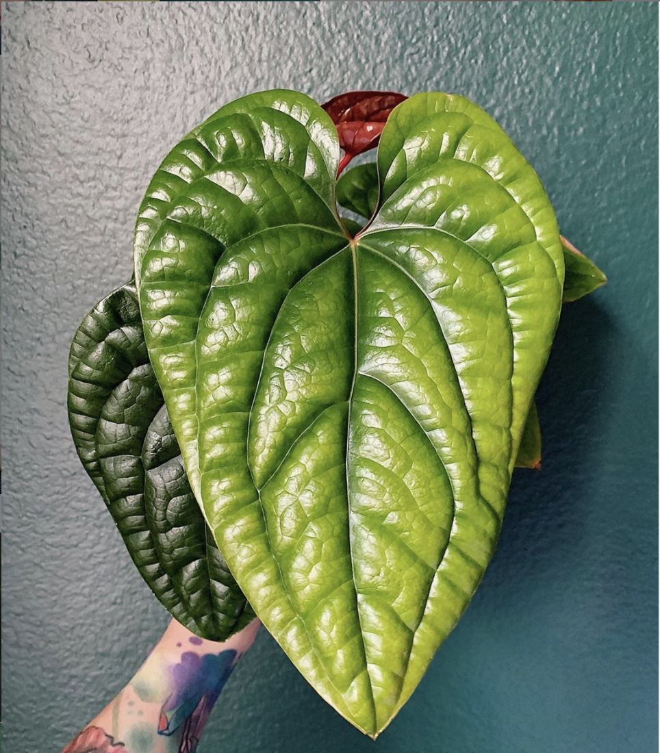 Anthurium Radicans Care – Top Tips Revealed