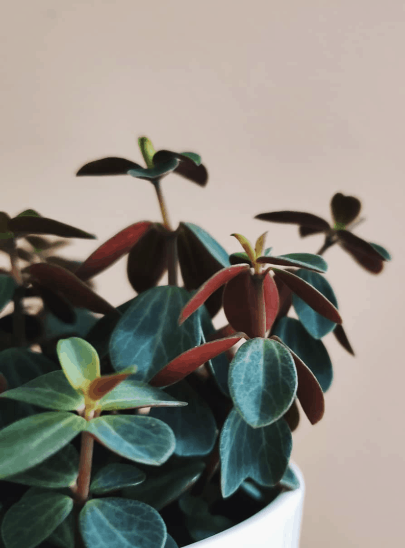 Peperomia Verticillata Care – Mistakes To Avoid