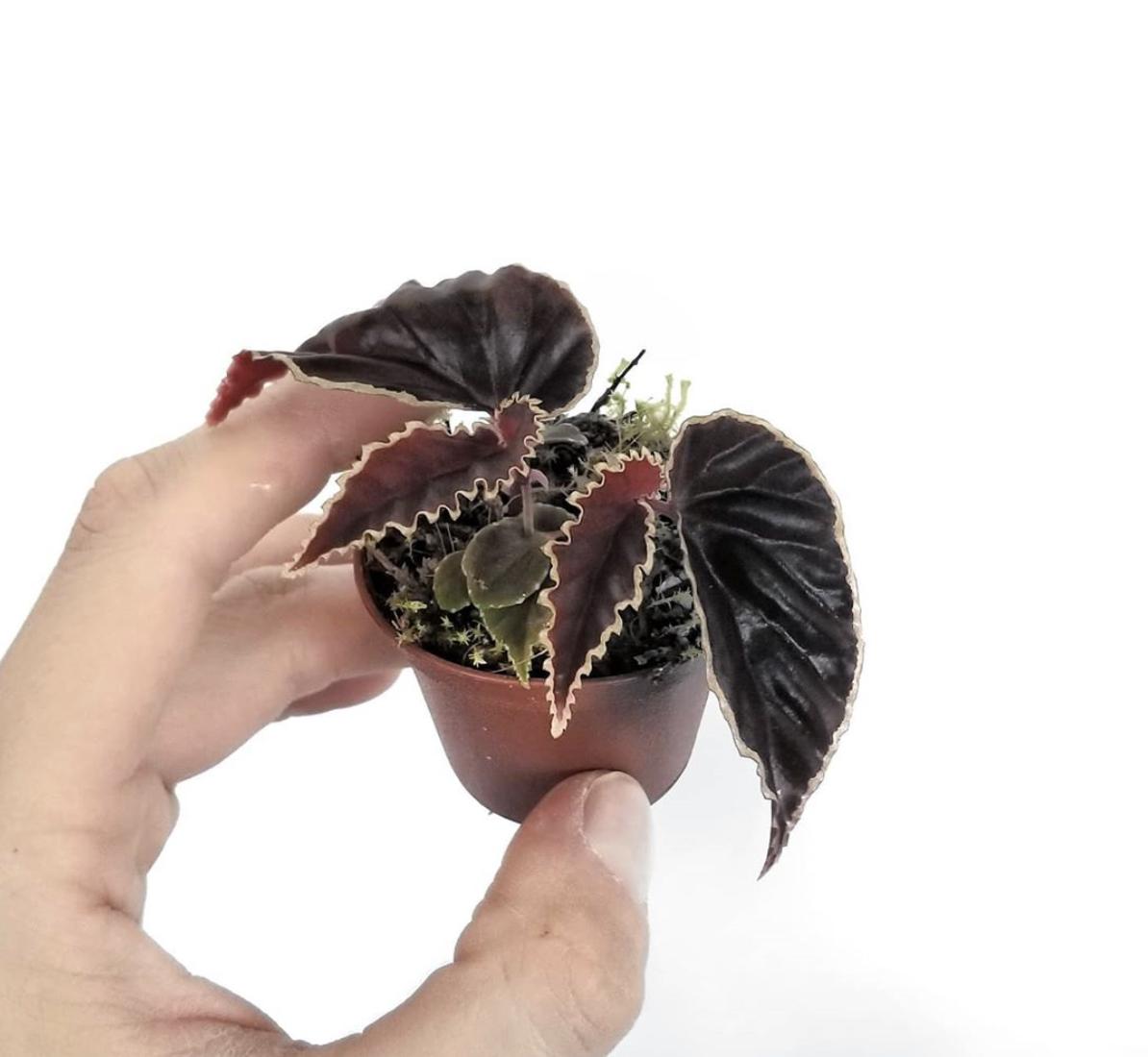 Begonia Darthvaderiana