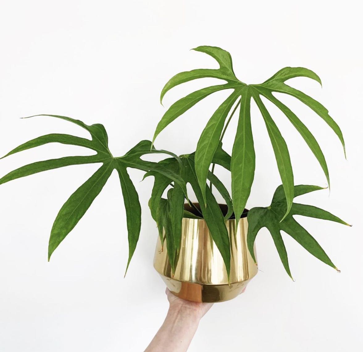Anthurium Pedatoradiatum Care – Grow it huge!