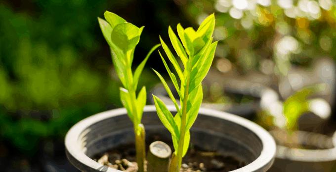 Zamioculcas Zamiifolia (ZZ Top)